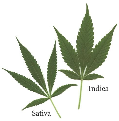 Вещества в конопли конопля и марихуана это